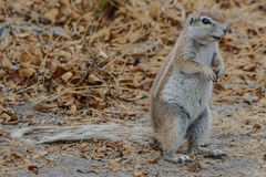Cape ground squirrel africa (xerus inauris) Royalty Free Stock Photos