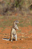Cape Ground Squirrel or African Ground Squirrel Royalty Free Stock Photography