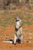 Cape Ground Squirrel or African Ground Squirrel Royalty Free Stock Images