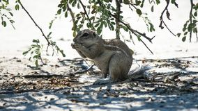 Cape Ground squirrel eating a seed in the shade. Cape Ground squirrel xerus inauris eating a seed in the shade of a tree Branch in Cental Kalahari Game Reserve Royalty Free Stock Photography