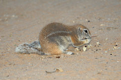 Cape Ground Squirrel eating Stock Photography