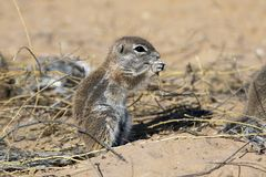 Cape ground squirrel in the Kgalagadi Stock Images