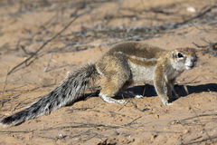Cape ground squirrel in the Kgalagadi Royalty Free Stock Images