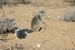 Cape ground squirrel in the Kgalagadi Stock Photos
