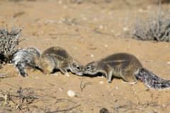 Cape ground squirrel in the Kgalagadi Royalty Free Stock Image