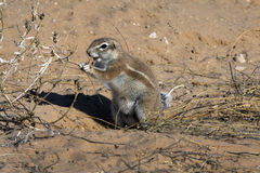 Cape ground squirrel in the Kgalagadi Royalty Free Stock Photography