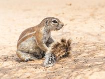 Cape Ground Squirrel Royalty Free Stock Photos