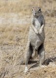 Cape ground squirrel in Namibia royalty free stock photography