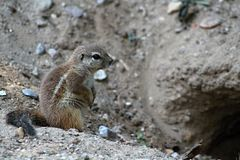 Cape Ground Squirrel Royalty Free Stock Images