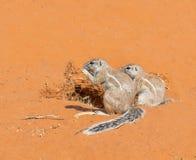 Cape Ground Squirrel Pair Stock Photo