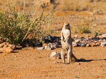 Cape ground squirrel standing in dry landscape Royalty Free Stock Photos