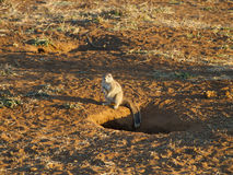 Cape ground squirrel Stock Image