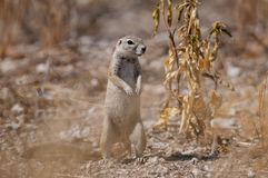 Cape ground squirrel standing and look, etosha nationalpark, namibia Stock Photo