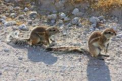 Cape Ground Squirrel (Xerus inauris) Stock Photo