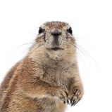 Cape Ground Squirrel, Xerus inauris Stock Images