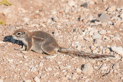 Cape ground squirrel, Xerus inauris in Northern Namibia Royalty Free Stock Photos
