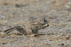Cape ground-squirrel, Xerus inauris, Royalty Free Stock Photography