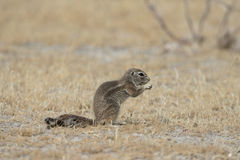 Cape ground-squirrel, Xerus inauris, Royalty Free Stock Photo