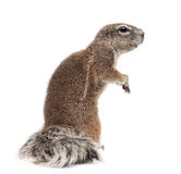Cape Ground Squirrel, Xerus inauris, standing Royalty Free Stock Images