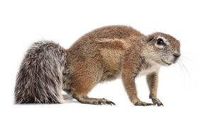 Cape Ground Squirrel, Xerus Inauris, Standing Stock Photos