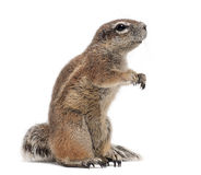 Cape Ground Squirrel, Xerus inauris, standing royalty free stock photo
