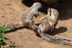 Cape ground squirrel (Xerus inauris). Stock Photos