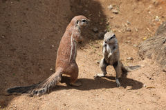 Cape ground squirrel (Xerus inauris). Royalty Free Stock Photography