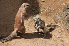 Cape ground squirrel (Xerus inauris). Stock Image