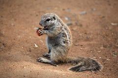 Cape ground squirrel (Xerus inauris). Stock Photo