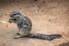 Cape ground squirrel (Xerus inauris). Royalty Free Stock Image