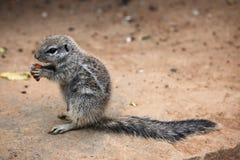 Cape ground squirrel (Xerus inauris). Royalty Free Stock Image