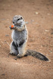 Cape ground squirrel (Xerus inauris). Stock Photography