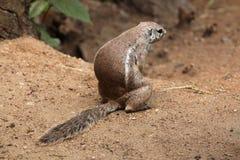 Cape ground squirrel (Xerus inauris). Stock Photos