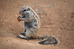 Cape ground squirrel (Xerus inauris). Stock Photo