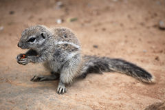 Cape ground squirrel (Xerus inauris) Royalty Free Stock Photography