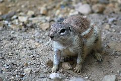 Cape Ground Squirrel Stock Photo