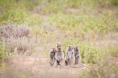 Cape ground squirrels. Adorable little family of African ground squirrels sitting outside their burrow stock photos