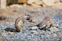 Cape ground squirrels Royalty Free Stock Photo