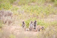 Cape ground squirrels. Cute Cape ground squirrels sitting outside their burrow stock image