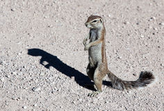 Cape ground squirrels Xerus Royalty Free Stock Image