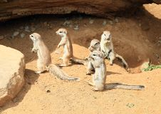 The Cape ground squirrels. Xerus inauris standing on sand in ZOO Prague, Czech Republic stock images