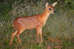 Cape grysbok antelope Royalty Free Stock Photos