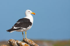 Cape Gull Royalty Free Stock Photography