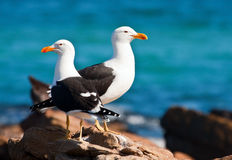 Cape Gull. A pair of Cape gulls standing on the rocks Royalty Free Stock Photography