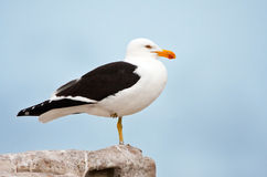 Cape Gull. A ringed Cape Gull standing on rocks Royalty Free Stock Photos