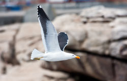 Cape Gull Stock Image