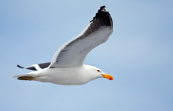 Cape Gull Stock Photo