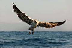 Free Cape Gull Stock Images - 37262584