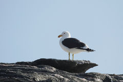 Cape Gull Royalty Free Stock Photos