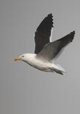 Cape Gull in flight Stock Photo